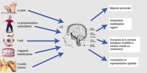 régulation du système postural